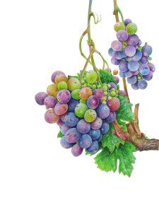 'Grapes', a watercolour by Nyana Sandur