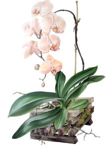 'Orchid 4', a botanical work in watercolour by Susan Sex